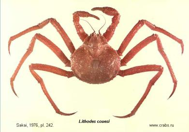 Anomura, photo of crab Lithodes couesi Benedict, 1895
