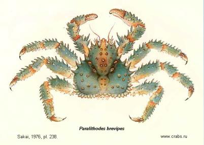 Anomura, picture of crab Paralithodes brevipes (A. Milne-Edwards & Lucas, 1841)