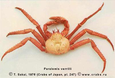 Anomura, photo of crab Paralomis verrilli (Benedict, 1895)