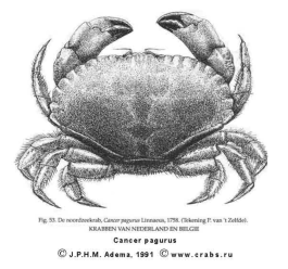 Brachyura, picture of crab Cancer pagurus Linnaeus, 1758