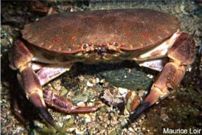Brachyura, photo of crab Cancer pagurus