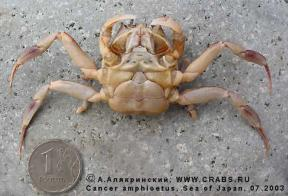Brachyura, photo of crab Paradorippe granulata