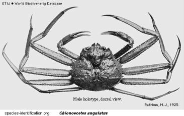 Brachyura, picture of crab Chionoecetes angulatus