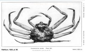 Brachyura, photo of crab Chionoecetes bairdi