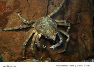 Brachyura, photo of crab Hyas araneus