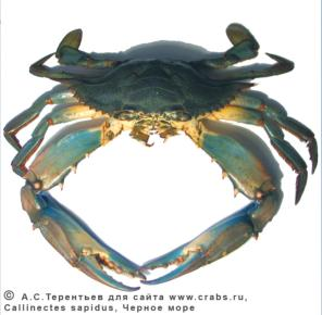 Brachyura, photo of crab Callinectes sapidus Rathbun, 1896