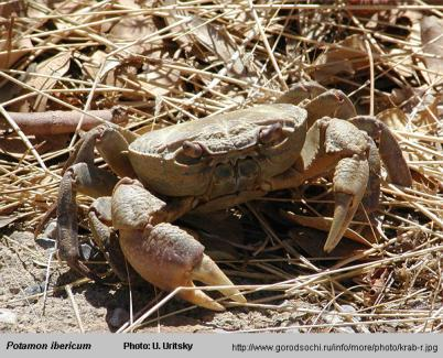 Photo of crab Potamon ibericum