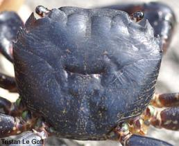 Photo of crab Pachygrapsus marmoratus