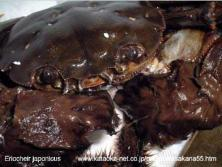 Brachyura, photo of crab Eriocheir japonica (De Haan, 1835)