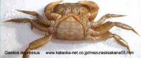 Brachyura, photo of crab Gaetice depressus (De Haan, 1835)