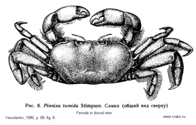 Brachyura, picture of crab Pinnixa tumida Stimpson, 1858