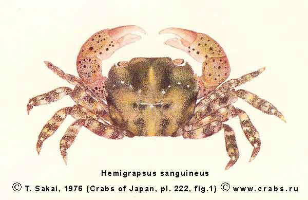 characteristics of the crab hemigrapsus sanguineus Scientific name: hemigrapsus sanguineus common name(s): asian shore the species that i was researching, the asian shore crab, is taking over maine ecosystems and other ecosystems, too, and we should put a stop to it i learned a lot about the species to get to the east coast of the us identifying characteristics.